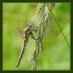 Black-tailed Skimmer (Full Moon Images) Tags: black macro nature insect dragonfly wildlife lakes reserve fen cambridgeshire tailed skimmer drayton rspb blacktailed fendrayton