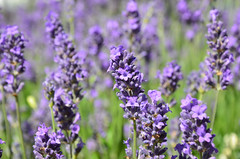Lavender Flowers (John A King) Tags: plant flower lavender