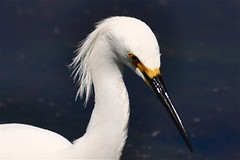 White Feathers Flowing in the Wind [Explored] (The Spirit of the World ( On and Off)) Tags: california portrait lake bird nature sandiego wildlife fowl egret lakesanmarcos egretportrait allnaturesparadise allofnatureswildlifelevel1 allofnatureswildlifelevel2