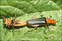 Stop Draggin' My Heart Around (muledriver) Tags: insects mating beetles