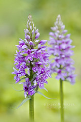 Little Spotted Orchids (Jacky Parker Floral Art) Tags: flowers summer two portrait art nature floral vertical closeup flora purple orchids creative meadow double lilac flowering softfocus format spotted wildflowers blooms common orientation dactylorhiza fuchsii floralessence