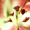 Centre of attention (Solomulala   mostly weekends ;-( !) Tags: flower macro canon lirio tamron90mm solomulala