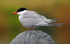 common tern (MFRANKLING) Tags: london centre barnes wwt wetland fbdg