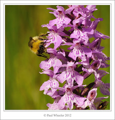 Pollination of Common Spotted Orchid (Paul_Wheeler) Tags: uk pink orchid flower macro nature closeup insect early britain wildlife meadow bee bumblebee devon british spotted common dactylorhiza bombus pollination pollinia pratorum fuchsii
