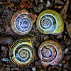 Still Life with Snails (Peggy Collins) Tags: stilllife canada spiral four spirals britishcolumbia snail snails sunshinecoast foursome snailshells cepaeanemoralis peggycollins