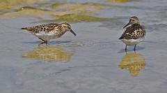 Sandpipers? (imageClear) Tags: lake bird water birds wisconsin nikon feeding lakemichigan feed shallow sandpiper sheboygan sandpipers shorebirds shorebird shallows d7000