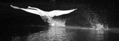 Landing Swan (bonei1973) Tags: swan vale stockport reddish
