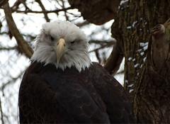 The Look (btn1131 www.needGod.com) Tags: birds animals olympus americanbaldeagle epl1 mygearandme