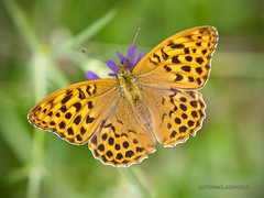Butterfly, Mariposa (StefanOlaison) Tags: butterfly sweden borboleta sverige mariposa suecia farfalla papilio bolboreta fjril  eksj  motl hglandet