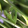 La hora de la araña (Solomulala | mostly weekends ;-( !) Tags: macro verde green canon mantis insect spider araña tamron90mm insecto mantisreligiosa solomulala