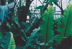 london july 16 (annabelduggleby) Tags: pentax pentaxmesuper analogue film 35mm kodak filmisnotdead shootfilm leaves plants barbican barbicanconservatory garden botanic botanische botanischegarten green