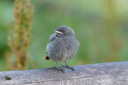 Young Black Redstart Bird