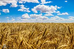 IMG_8329 (larzz4444) Tags: wheatfield chestermontana chester montana winterwheat gleaner drylandfarming sweatgrasshills joplinmontana wheatharvest sunset