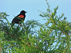 Red-winged Blackbird on cypress 20160722 (Kenneth Cole Schneider) Tags: florida miramar westbrowardwca
