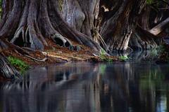 CALMA (NIKONIANO) Tags: landscape paisaje ahuehuetes camécuaro méxico nikoniano sergioalfaroromero tree árbol árboles trees water waterenvirons