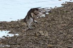 Flat Catch. (stonefaction) Tags: birds nature wildlife scotland osprey river south esk montrose balgavies loch forfar angus green bf