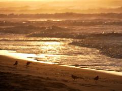 Sun-rise (shama rama) Tags: nc northcarolina surfcity topsail beach sunrise grackle boattailedgrackle
