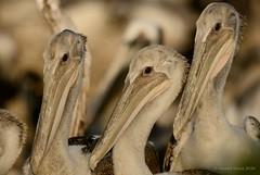 Brown Pelicans (Danielirons02) Tags: nikond610 nikontc14 nikon300mmf4 brownpelican maryland somersetcountymd