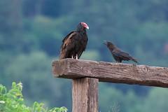 Morning chat (Adam Wang) Tags: bird crow turkeyvulture oregon hoodriver nature park wildlife