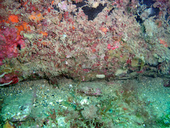 DurlBay 38 sponges and squirts (bloomspix) Tags: seasearch underwater englishchannel swanage