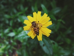 Horney (themilkyway_hm) Tags: bee ong hoa flower horney blossom yellow nature vang green leaves