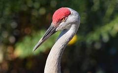 Sandhill Crane (careth@2012) Tags: sandhillcrane bird nature beak portrait