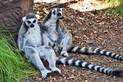 Ring-tailed Lemurs at the San Diego Safari Park (GMLSKIS) Tags: sandiego safaripark california ringtailedlemur nikond750