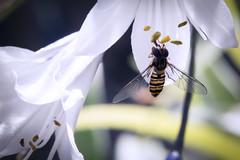 Hoverfly (katatomicuk) Tags: hoverfly cheshire uk 1365