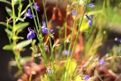 (andrewlee1967) Tags: flower plant dof andrewlee1967 f2 canon50d ef35mmf2 blue summer bokeh andrewlee