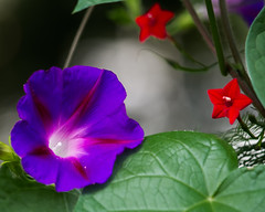 Contrast... (zoomclic) Tags: canon closeup colorful flower foliage flowers morningglory summer scarletcreeper dof dreamy bokeh nature green red purple zoomclicphotography saveearth