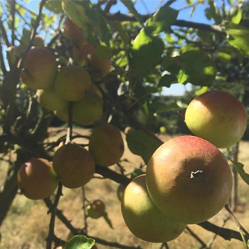 07 09 2016 apples ripening