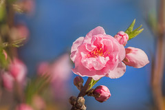SAKURA    (satochappy) Tags: cherryblossoms sakura   spring pink blue sydney australia downunder nsw