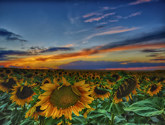 Wonderful Sunset (Denverphotoscapes) Tags: denver colorado plants plant tracheophyta tracheophytes vascularplants angiosperms angiosperm angiospermae floweringplants sunflower helianthus captureone phaseone phaseonexf iq350 xf mediumformat hdr watkins usa projectweather