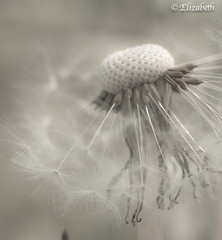One of the best lessons you can learn is to master how to remain calm (beth3974) Tags: dandelion macro