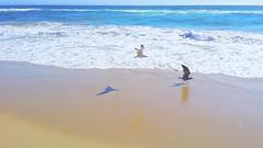 Shadow play (F.emme) Tags: beach huntingtonbeach pacificocean ocean seashore shore seagulls gull gulls seagull shorebird mobile galaxynote3 samsung cellphone mobilephone phone shadows shadow
