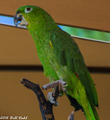 Parrot12 (Bill Dahl 2 Million+ Views Club) Tags: copyright2016 avian birdphotography birds photographybybilldahl photobybilldahl photosbybilldahl photographerbilldahl billdahl billdahlphotography billdahlphotographer httpwwwbilldahlnet canoneos7d canon7d canon