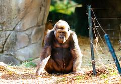 Sitting (VirtualWolf) Tags: animal australia bokeh canonef135mmf2lusm canoneos7d equipment gorilla mosman newsouthwales places primate sydney tarongazoo techniques wildlife