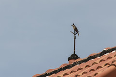 red-whiskered bulbul (arcibald) Tags: redwhiskeredbulbul bulbul pycnonotusjocosus bird birds aves vientiane laos laopdr