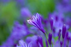 Agapanthus (paulapics2) Tags: agapanthus flower blumen floral flora fleur nature garden blue macro depthoffield hydehallgardens canoneos5dmarkiii sigma105mm