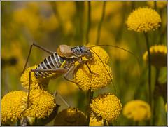 Chicharra de montaa. (josemph) Tags: olympus e3 sigma 105mm macro insectos ortpteros bradyporidae chicharrademontaa lluciapomaresiusstalii