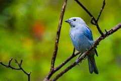 Blue Jean (miTsu-llaneous) Tags: trinidad trinidadandtobago nature animal wildlife bird tanager bluegreytanager thraupisepiscopus rain weather overcast nikon d5200 nikkor 70300mm