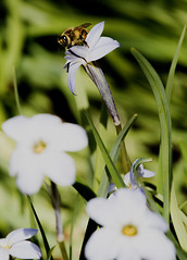 Bee 5 (Paulo McIver) Tags: spring bee swan blackswan australianalps bombala cooma dalgety ephemerallake environment environmental garden highcountry landscape monaro paulmciver southeastaustralia southeastnewsouthwales snowymountains southeastnsw