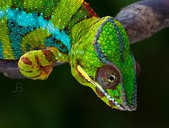 Chameleon Furcifer pardalis Ambilobe (JanBures_com) Tags: chameleon furcifer pardalis ambilobe terrarium