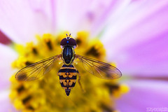 Landing Pad (Vie Lipowski) Tags: hoverfly toxomerusmarginatus cosmos flowerfly syrphidfly insect bug fly flower wildlife nature macro