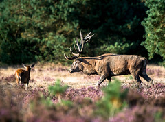 red deer in rutting season (a.limbeek) Tags: edelhert zomerdeveluwe wild ruttingseason landschap