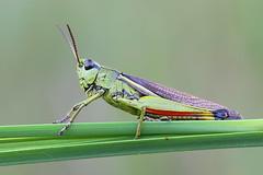 Suosirkka - Stethophyma grossum - Large Marsh Grasshopper (Henri Koskinen) Tags: stethophymagrossumlargemarshgrasshopperplanteater pestcolorfulgreenredbuginsectantennaegrassblade finlandorthopteracaelifera suosirkka heinäsirkka finland uutela 26082016