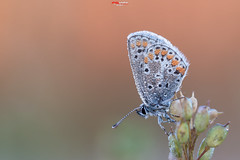 Bluling mit Tropfen 8.jpg (oliver r.) Tags: canon tamron macro makro nature natur insect insekt wildlife outdoor bluling schmetterling butterfly falter water wasser waterdrops wassertropfen drops tropfen tau morgentau sonnenaufgang