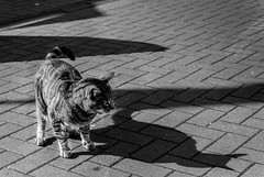 Scared of his own Shadow (Daniel C P M) Tags: shadow dark cat animal cute brick patio outside outdoor fur tail whiskers black white bw wow pretty monochrome monochromatic paws nikon d7100 nikond7100 nature natural