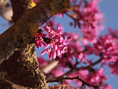 cercis (AMoska) Tags: natureza nature rvore tree cercis olaia judastree flora flores flowers tronco trunk simplysuperb floralfantasy quintaflower