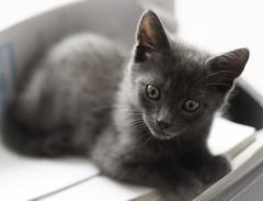 Simi 4 (sarahhickspics) Tags: kitten grey playful soft cute cat